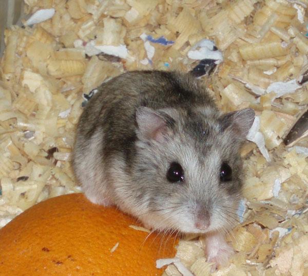 hamster swinger